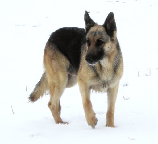 Silver Mountain German Shepherd Dams