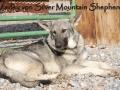 Silver Mountain German Shepherd Dams