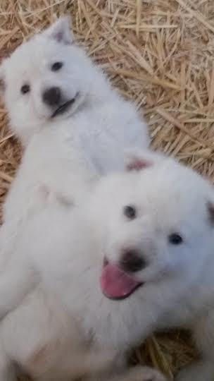 Heidi's white puppys