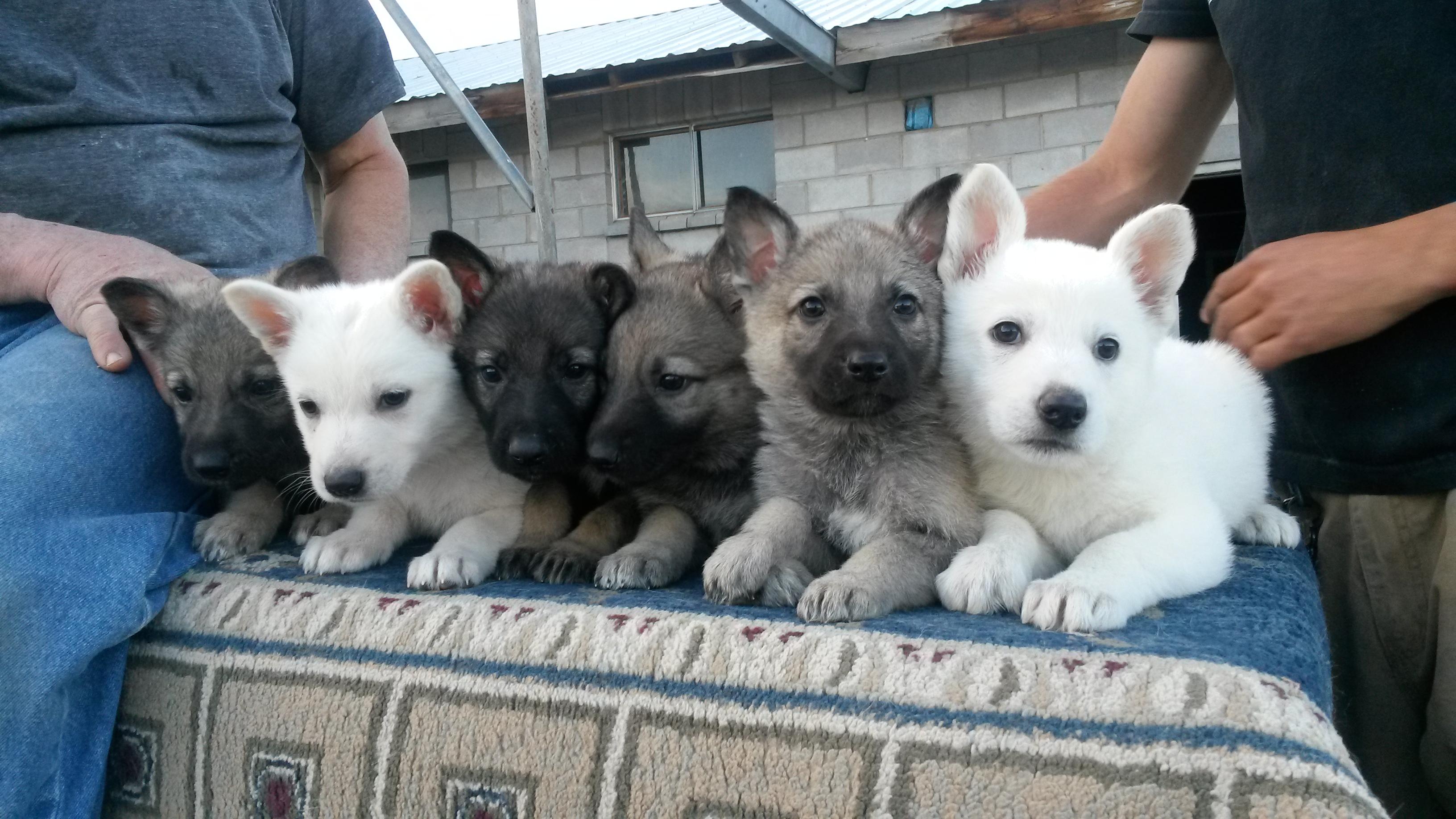 German Shepherd Puppies On Sale Now Silver Mountain Shepherds
