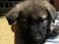 Heidi's silver black puppy 1