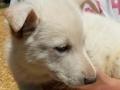 Heidi's white female puppy1