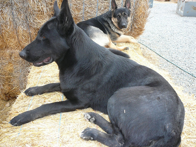 Silver Mountain German Shepherd Sires