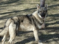 Silver Mountain German Shepherd Sires