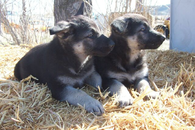 Black and Silver Males German Shepherd Puppies