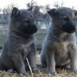 Silver German Shepherd Puppies