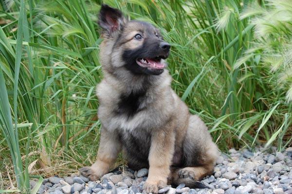 3/4 Coat Female German Shepherd Puppy