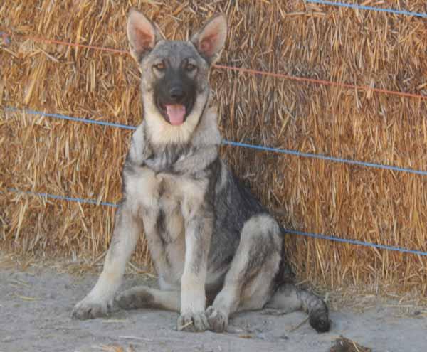 Silver Mountain Shepherds Excellence In German Shepherd Puppies