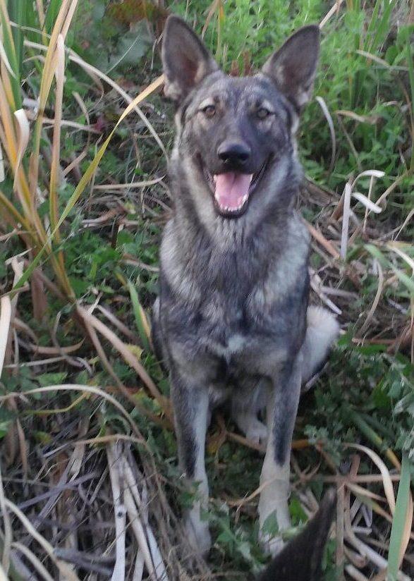 Silver German Shepherd Puppy